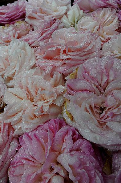 Roses favorite du monde.